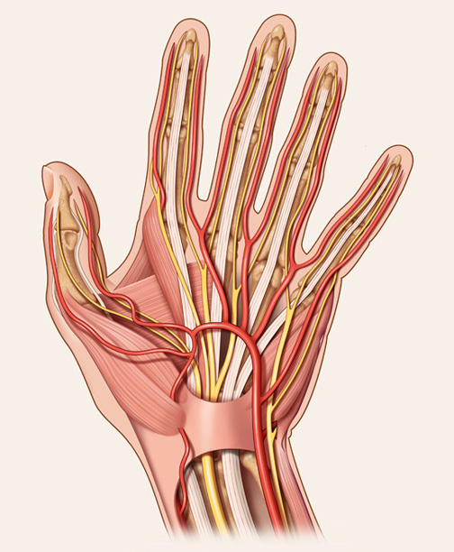 Medical-Educational-illustration-Hand Anatomy-Bill-Graham