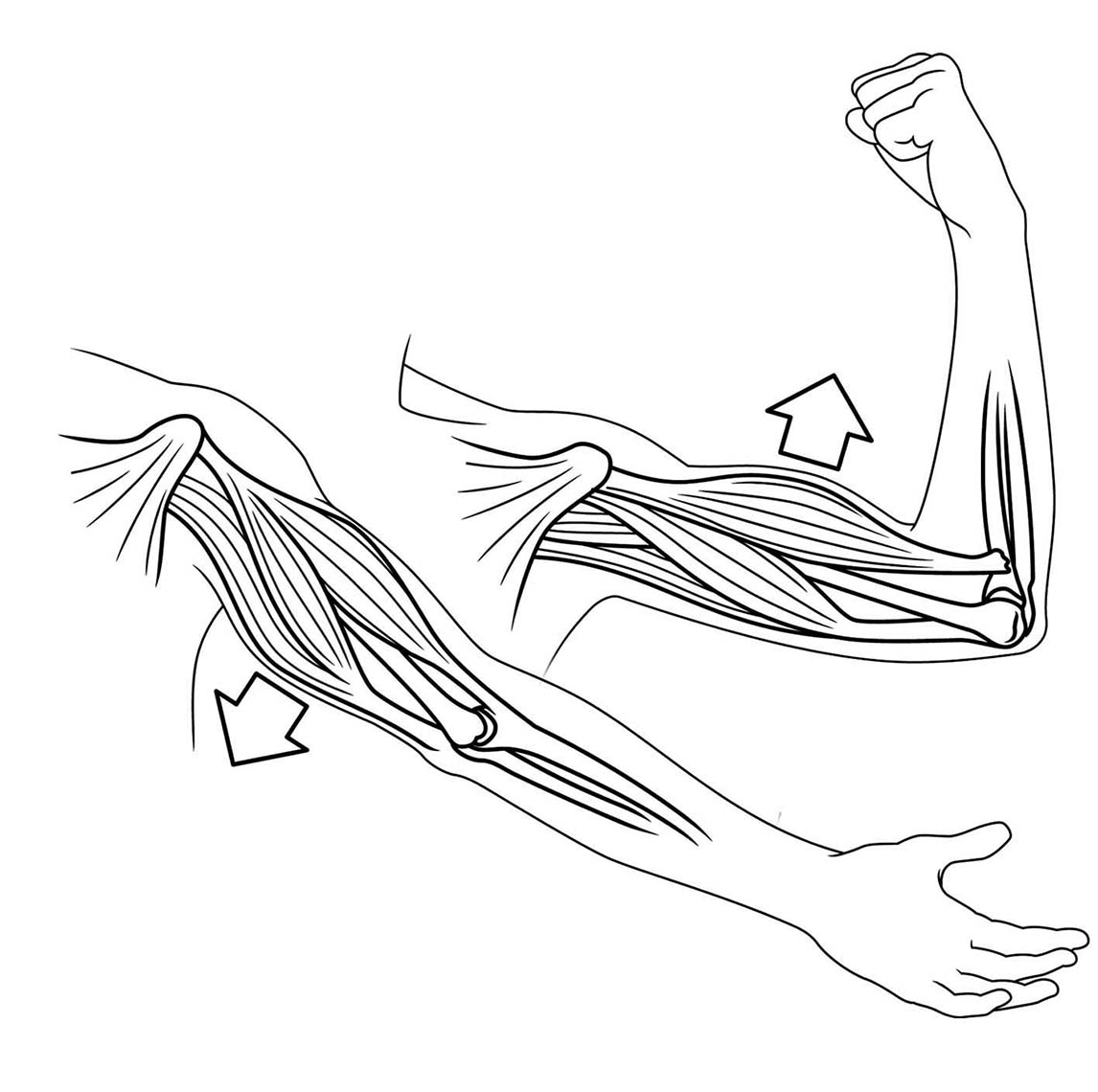Medical diagram arms