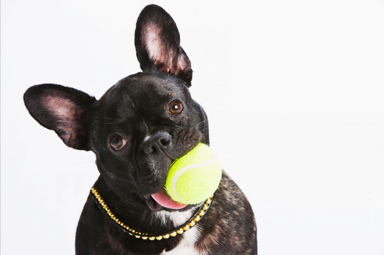Photography_Products and Still Life_French Bulldog with Tennis Ball and Gold Chain-Tony Garcia