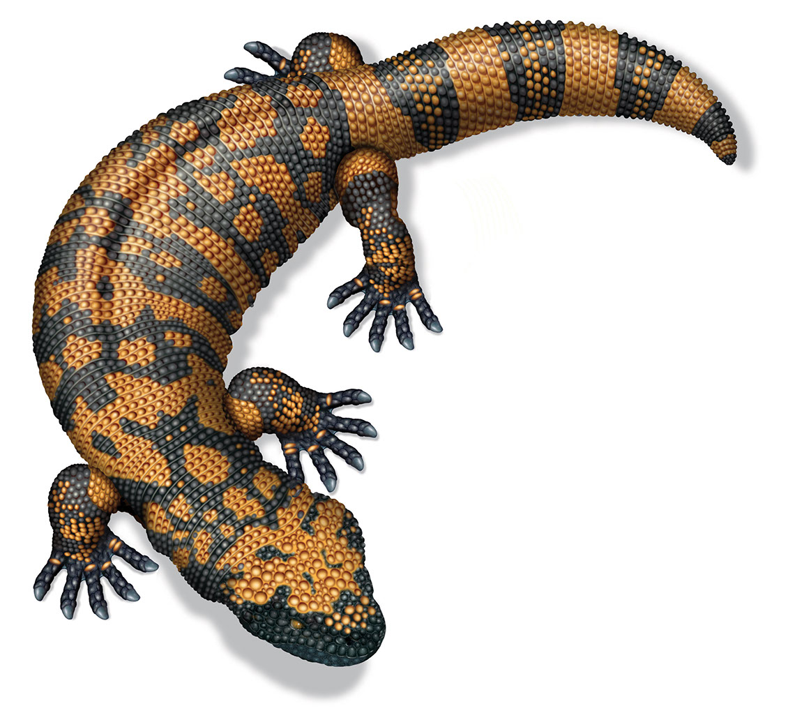 illustration-Animals and Nature_Black and tan Lizard-Bill-Graham