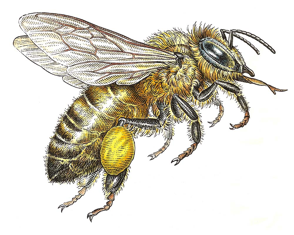 illustration-Bee-by-Dave Hopkins