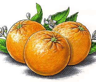 illustration-Food_310x265_Oranges-Dave Hopkins