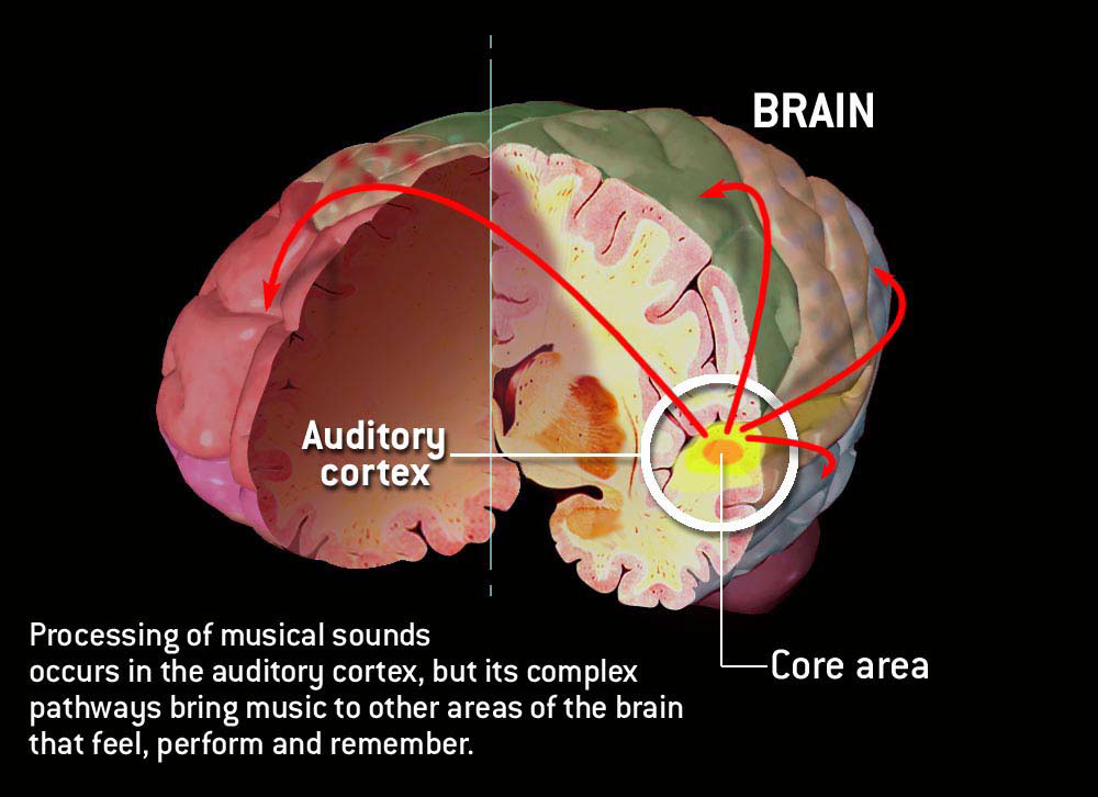 illustration-Medical_The auditory cortex-Matt Zang