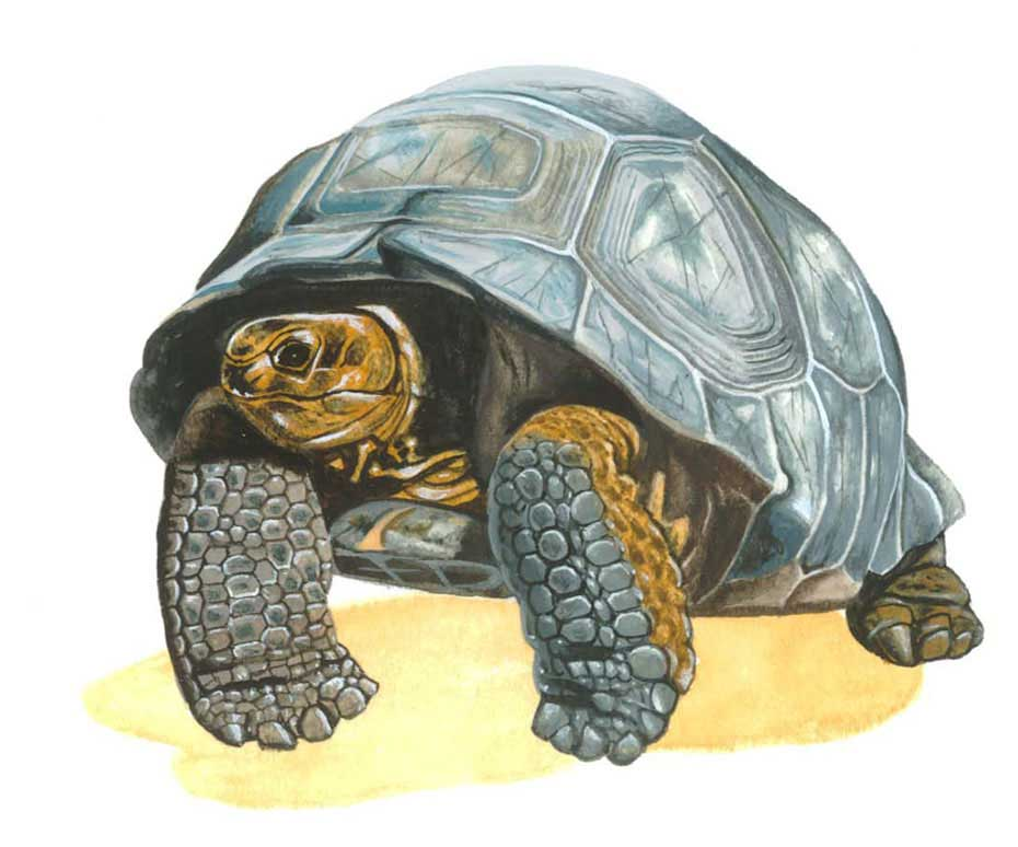 illustration-realistic-animals-tortoise